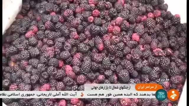 Iran Forest Raspberry harvest, Mazandaran province برداشت تمشک جنگلی مازندران ایران