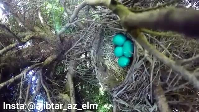 بلعیدن تخم های پرنده توسط مار بصورت تایم لپس