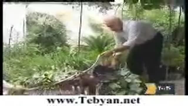 حمله عقاب وحشی به یک پیر مرد