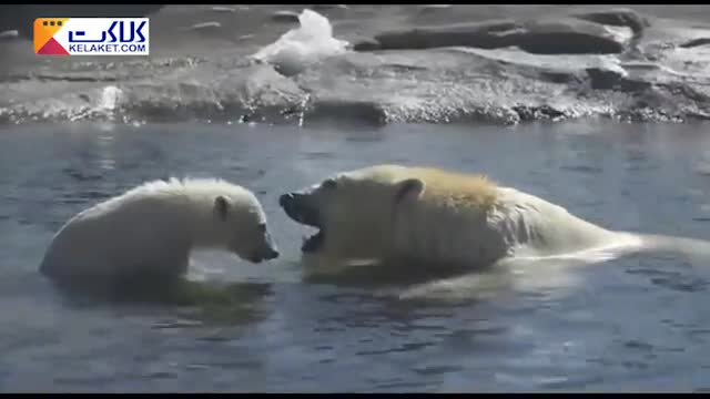 شنا خرس قطبی در آب سرد بعداز یک خواب طولانی زمستانی !!