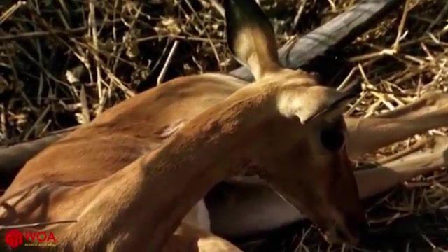پلنگ ، غزال را درچنگال خود اسیر میکند ولی گروه نجات بابون ها غزال را نجات میدهند