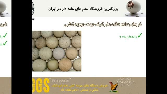 مرغوب ترین تخم نطفه دار کبک محلی ، بدون هیچگونه لک یا بیماری