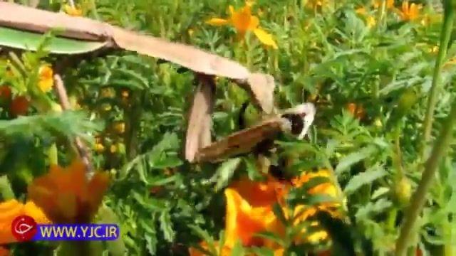 شکار زنبور و زنده زنده خوردن آن به دست مانتیس