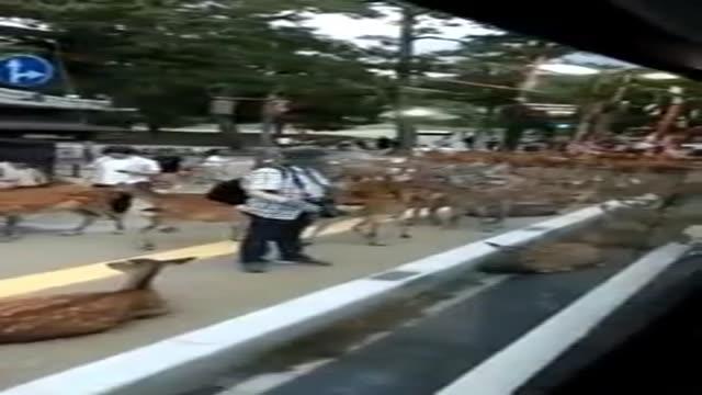 پناه آوردن صدها گوزن به شهر نارا در ژاپن ، بخاطر وقوع سیل !