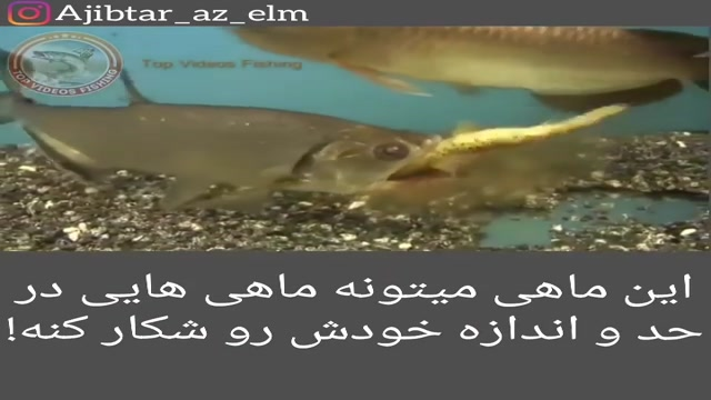 قدرت ماهی در شکار ماهی هایی در حد و اندازه خودش!!!