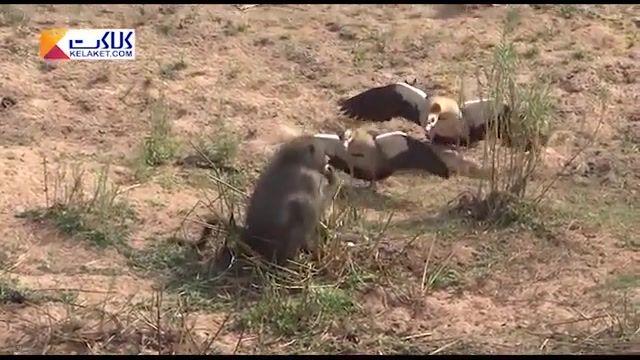 گرسنگی شامپانزه را تخم غاز خور می کند!!