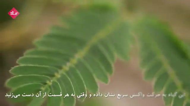 آشنایی با گل قهر یا گل حساس | Mimosa pudica