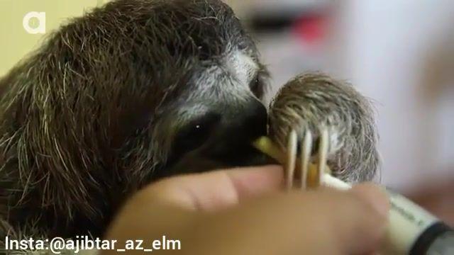 شیر نوشیدن نوزاد تنبل درختی!