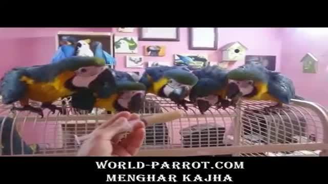فیلم بسیار جالب جوجه ماکایوهای ابی طلایی در پرنده فروشی بین المللی منقارکج ها