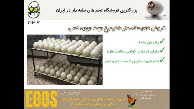 تخم نطفه دار تضمینی شترمرغ، با کیفیت برتر