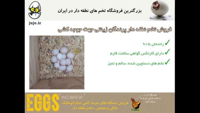فروش  تخم نطفه دار تضمینی پرندگان زینتی