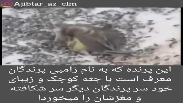 زامبی پرندگان! پرنده ای که سر دیگر پرنده ها را شکافته مغزشان را می خورد!!!