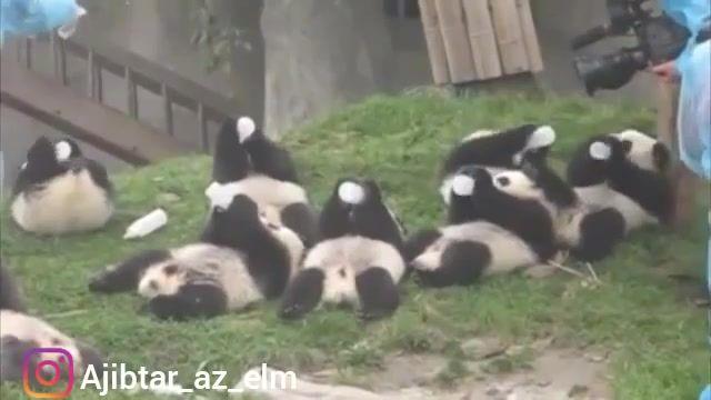 شیر دادن به بچه پانداهای بازیگوش در باغ وحش