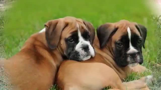 خطرناک ترین نژادهای سگ دردنیا