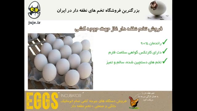 تخم نطفه دار غاز، با کیفیت و تضمین در جوجه درآوری با درصد بالا تا 90%