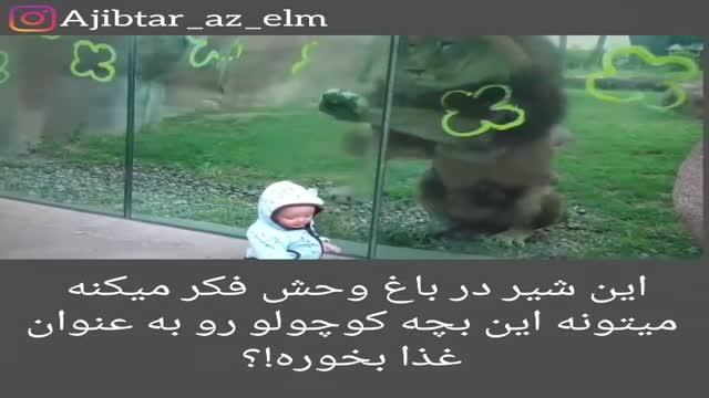 حمله شیر برای خوردن بچه کوچک در باغ وحش