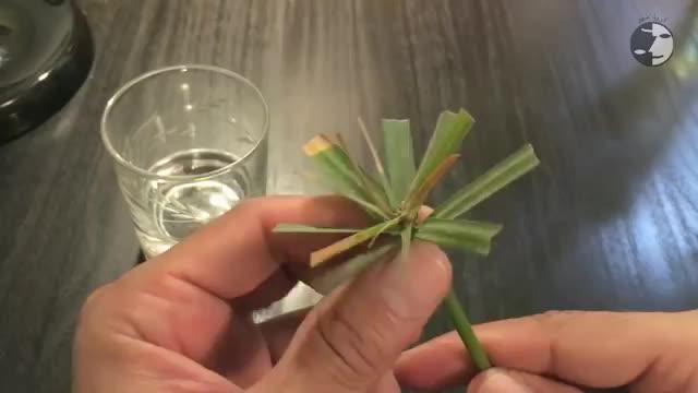 How To Propagating Cyperus alternifolius - آموزش تکثیر گیاه نخل مرداب