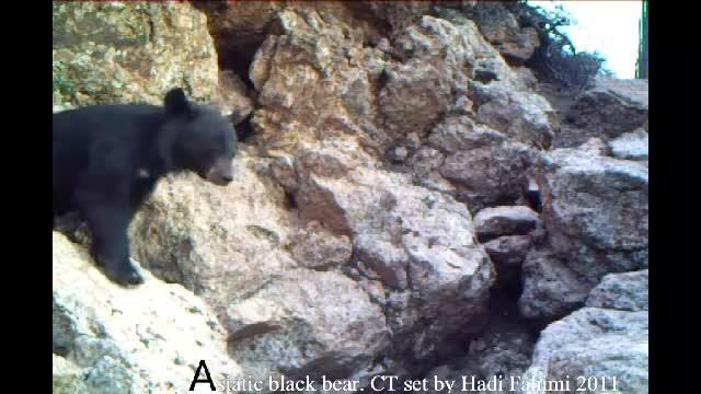 تصویری کمیاب از خرس آسیایی.Asian bear