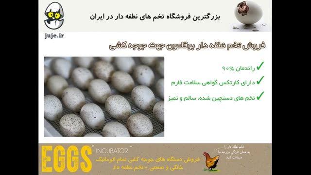 تخم نطفه دار بوقلمون با درصد بازدهی بالا در جوجه درآوری
