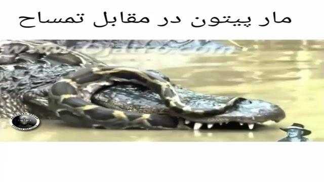 حمله یک مار پیتون به تمساح