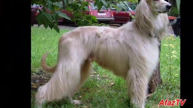 سگ تازی افغان ملقب به پادشاه سگ ها
