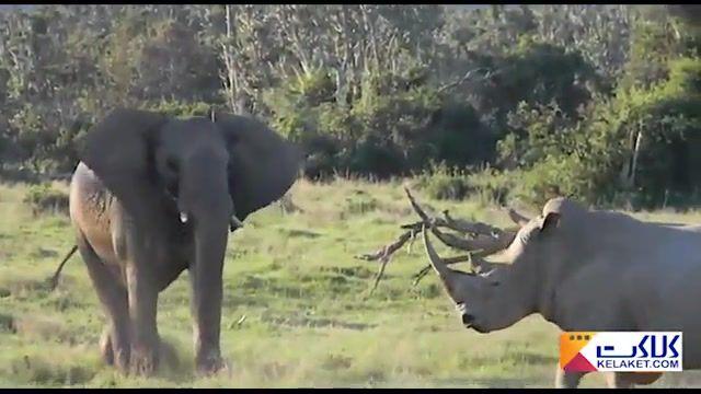 کل کل فیل و کرگدن برای ریاست !!
