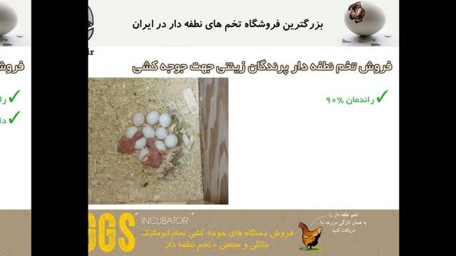 تخم صد در صد نطفه دار پرندگان زینتی
