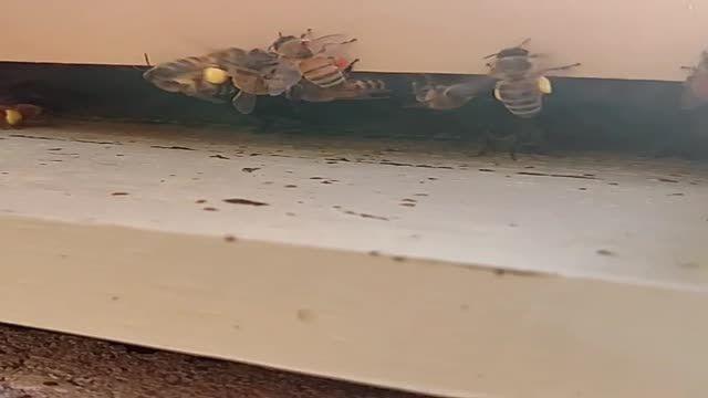 زنبور عسل در حال جمع آوری گرده گل