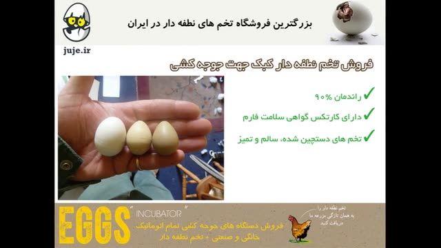 تولید تخم نطفه دار کبک، تولید شده توسط بهترین تولید کنندگان کشور