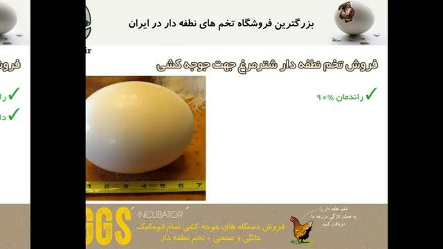 تخم شترمرغ 100% نطفه دار سالم و با راندمان تولید 85% به بالا