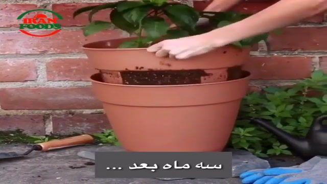 آموزش کاشت سیب زمینی در منزل