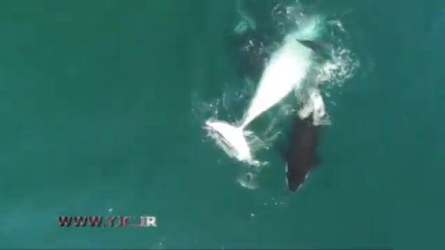 ثبت لحظه حمله چند نهنگ قاتل به یک وال توسط پهپاد