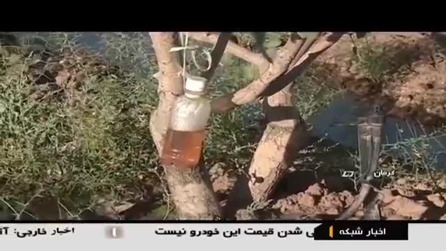 Iran Organic Pistachio harvest, Kerman province برداشت پسته ارگانیک استان کرمان ایران