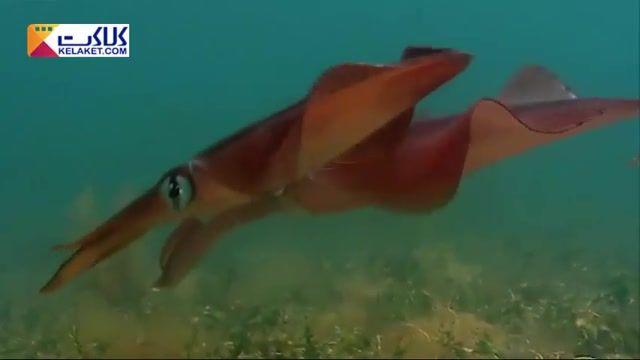 جلب توجه با تغییر رنگ !! ماهی مرکب برای جلب توجه ماهی ماده تغییر رنگ می دهد