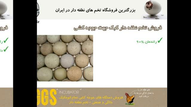 فروش تخم صد در صد نطفه دار کبک در سایت جوجه دات آی آر juje.ir