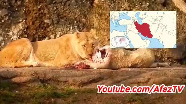 حقیقت های جالب درباره شیرها که حتما نمیدانید