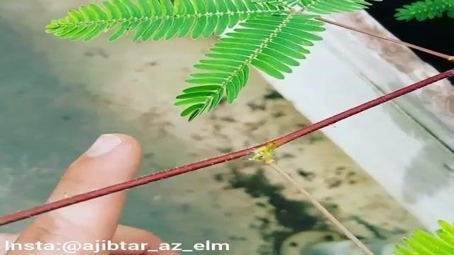 واکنش عجیب گیاه گل قهر به لمس شدن
