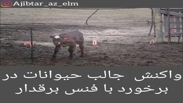 واکنش جالب حیوانات در برخورد فنس برق دار