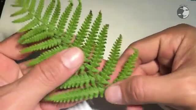 آموزش تکثیر گیاه سرخس بوسیله هاگ - How To Propagate Fern From Spore