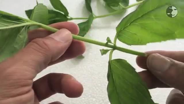 آموزش کاشت و تکثیر نعناع در گلدان و باغچه - How To Grow Mint In Pot