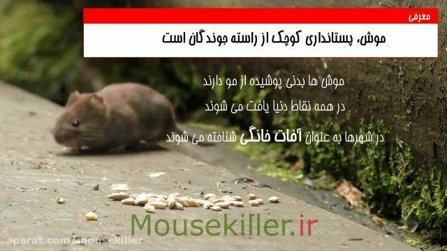 واقعیت های جالب در مورد زندگی موش ها