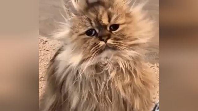 گربه ناز