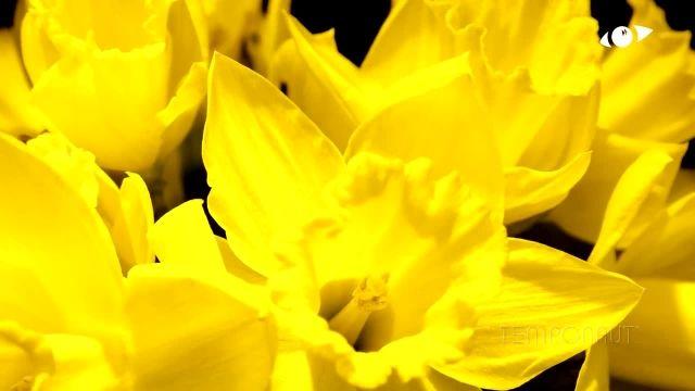 دانلود تایم لِپس (Timelapse) - شکوفه کردن گل نرگس زرد