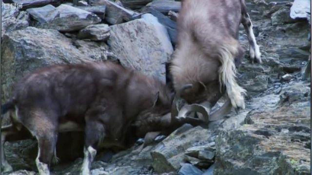 مستند حیرت آور از صحنه شکار پلنگ برفی (BBC)