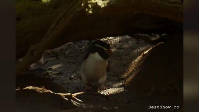 کلیپی کوتاه از پرندگان در(جزایر نیوزلند)