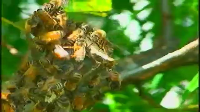 زنبور دو