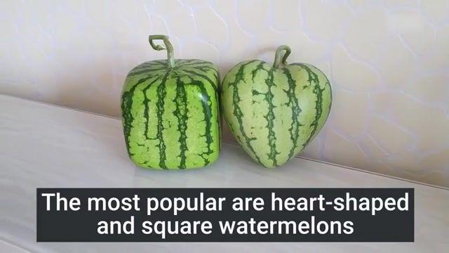 پرورش میوه های با اشکالی جالب  با استفاده از قالب های پلاستیکی