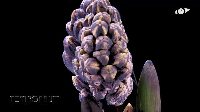 دانلود تایم لِپس (Timelapse) - شکوفه کردن گل سُنبل