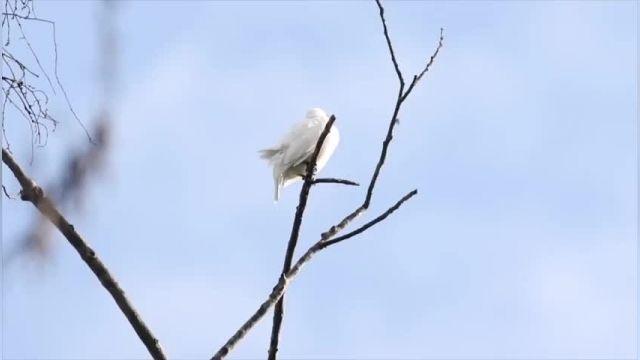 مستند زیبا درباره این صدای این پرنده که میتواند به گوشتان آسیب جدی وارد کند!